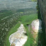 Dead Mojarra/Sand Bream and Jack, west of Franklin Lock