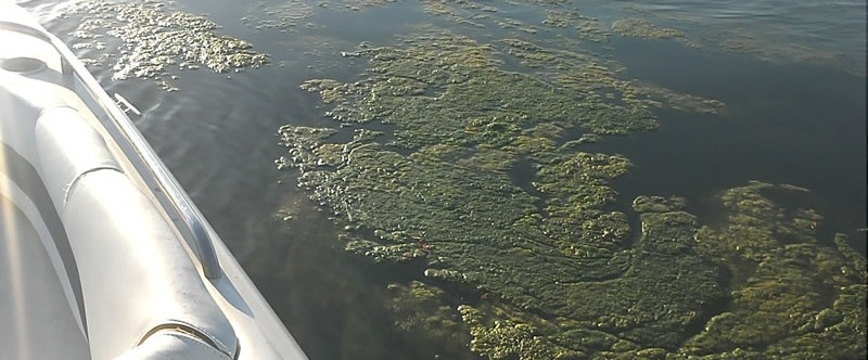 Algae in Tampa Bay