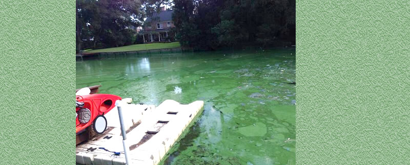 Green slime outbreak on Pirate's Cove, a tributary of the St Johns River in Jacksonville, Fla.